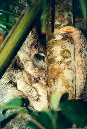 Hang-on-little-sloth!